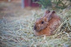 Mały śliczny brown królik 2 Obraz Royalty Free