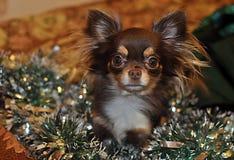 Mały śliczny chihuahua psa chińczyk Zdjęcia Stock