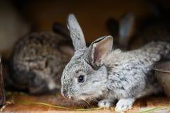 Mały śliczny królik Puszysty szary królik na drewnianym tle Miękka ostrość, Płytka głębia pole Zdjęcie Stock