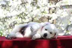 Mały śliczny labradora szczeniak w parku w wiośnie Fotografia Royalty Free