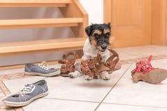 Mały śliczny posłuszny pies trzyma but metrampażu szkoleniem - Jack Russell Terrier 2 lat zdjęcie stock