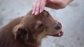 Mały śliczny przybłąkany pies dostaje afekcję od nieznajomego, bezdomny zwierzę domowe z miłymi wdzięcznymi oczu spojrzeniami w k zbiory wideo