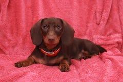 Mały śliczny psi czekoladowy jamnik kłaść na różowym tle Obrazy Stock