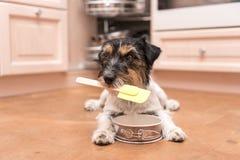 Mały śliczny psi kucharstwo i pieczenie - dźwigarki Russell teriera ogar zdjęcie royalty free