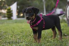 Mały, śliczny rottweiler, Fotografia Royalty Free