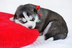 Mały śliczny Syberyjskiego husky szczeniak Fotografia Royalty Free