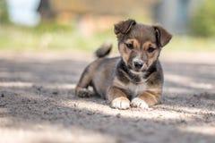 Mały śliczny szczeniak patrzeje w kamerze Fotografia Royalty Free