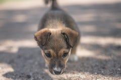 Mały śliczny szczeniak patrzeje w kamerze Fotografia Stock
