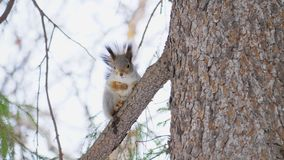 Mały śliczny wiewiórczy obsiadanie na sosnowej gałąź w naturalnym parku zbiory