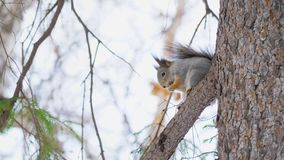 Mały śliczny wiewiórczy obsiadanie na sosnowej gałąź w naturalnym parku zdjęcie wideo