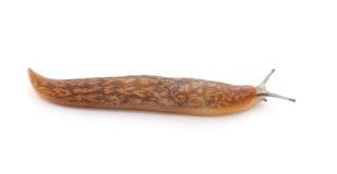 Mały ślimaczek Obrazy Royalty Free