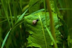 Mały ślimaczek na liściu Obrazy Stock