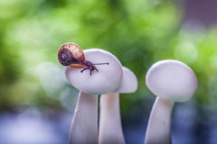 Mały ślimaczek na pieczarkach Obrazy Royalty Free