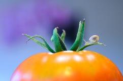 Mały ślimaczek na pomidorze zdjęcia stock