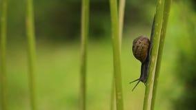 Mały ślimaczka czołganie zbiory wideo