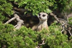 Mały śmieszny meerkat Obraz Royalty Free