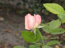 Mały światło - menchii róża Obrazy Stock