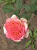 Mały światło - menchii róża Zdjęcia Royalty Free