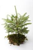 mały świerkowy drzewo fotografia royalty free