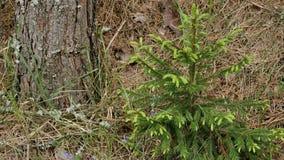 Mały Świerkowy drzewo z Młodymi igłami w wiosna lesie zdjęcie wideo