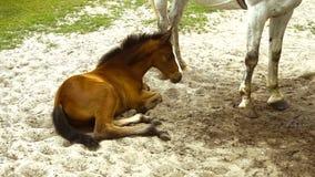 Mały źrebię kłama w piasku blisko białego konia zbiory