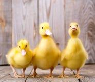 Mały żółty kaczątko Fotografia Royalty Free