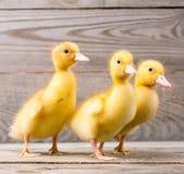 Mały żółty kaczątko Obrazy Stock