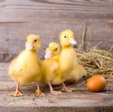 Mały żółty kaczątko Zdjęcia Royalty Free