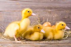 Mały żółty kaczątko Fotografia Stock