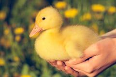 Mały żółty kaczątko Obrazy Royalty Free