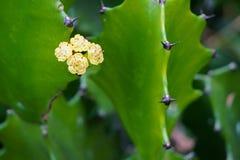 Mały żółty kaktusowy kwiat na zieleni opuszcza tła Euforbii antiquorum fotografia stock