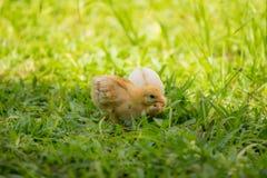Mały żółty kurczątko chodzi przez jarda Zdjęcia Royalty Free
