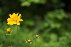 mały żółty kwiat Zdjęcie Royalty Free