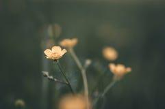 mały żółty kwiat Fotografia Royalty Free