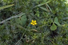 Mały żółty kwiat w dużym ogródzie Obraz Royalty Free