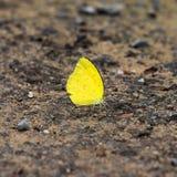 Mały żółty motyl Zdjęcia Royalty Free