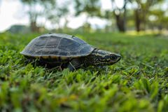 Mały żółw chodzi wolno na zielonej trawie Zdjęcie Stock