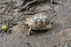 Mały żółw i zielona hikorowa dokrętka zdjęcia royalty free