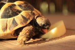 Mały żółw je jabłka Fotografia Stock
