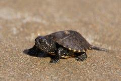 Mały żółw na Zakynthos Gerakas plaży w Grecja fotografia stock