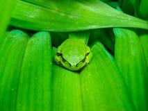Mały żaby dosypianie na kwiatu liściu obraz stock