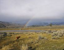 Mały żubr bawić się pod tęczą, Yellowstone fotografia royalty free