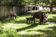 Mały żubr podąża jego matki, Bialowieza park narodowy obraz royalty free