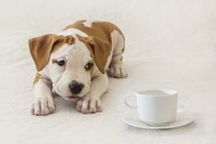 Mały Amerykańskiego Staffordshire Terrier szczeniak filiżanka kawy/herbata na białym tle Zdjęcie Stock