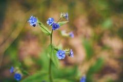 Mały błękit kwitnie w naturalnej roślinności zdjęcia stock