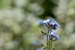 Mały błękit kwitnie z selekcyjną ostrością Obraz Stock