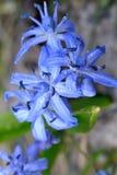 Mały błękitny kwiat Fotografia Stock