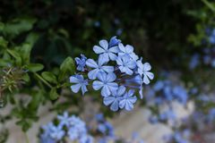 Mały błękitny kwiatu zbliżenie zdjęcie stock