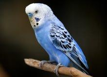 Mały błękitny ptak w Kuala Lumpur ptaka parku, Malezja Obraz Royalty Free