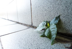 Mały Banyan drzewo Narastający up w budynku obraz stock